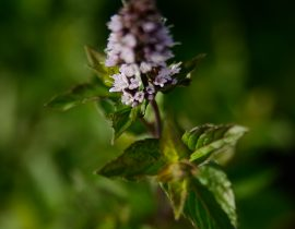Menthe - Jardin Inspirata Nature